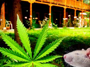 marijuana_ptsd_rats