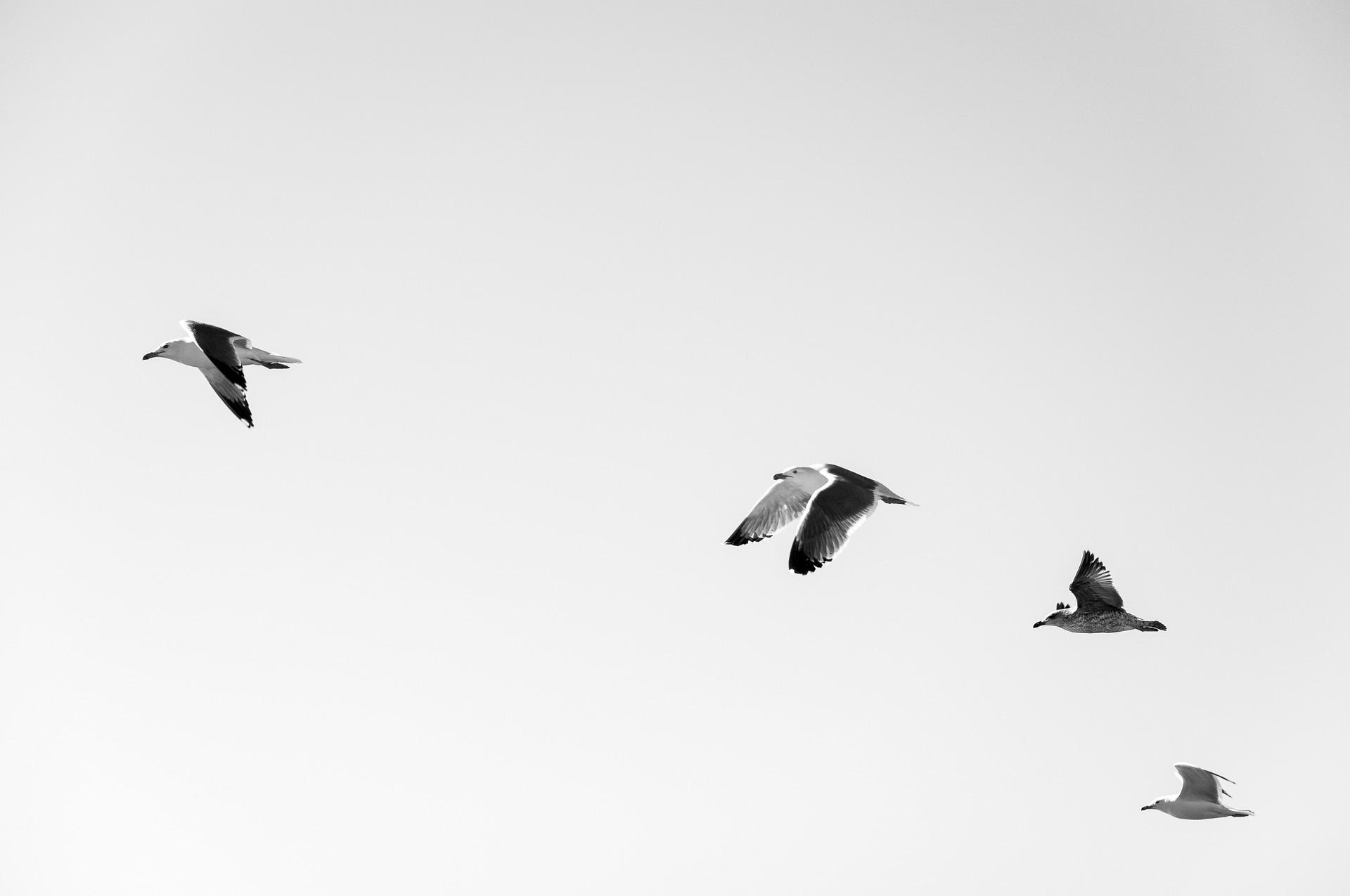 seagulls-984529_1920